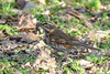 Yum Yum! (stellagrimsdale) Tags: redwing bird birdphotography birding worm ground eating birdeating 7dwf grass