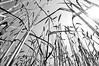 i teré. (LucaBertolotti) Tags: moso almósdacrèma mosi crema lombardia landscape blackandwhite bnw italia italy world countryside plain flatland campagna flower flowers fiori fiore sky cielo sun sole nature maize wheat corn