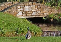 Deliberating! (Cornishcarolin. Stupid busy!! xx) Tags: devon httpwwwcockingtoncourtorg ducks birds nature bridge water grass waterfall