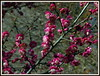(uncle mike in knoxville) Tags: flower spring japaneseapricot