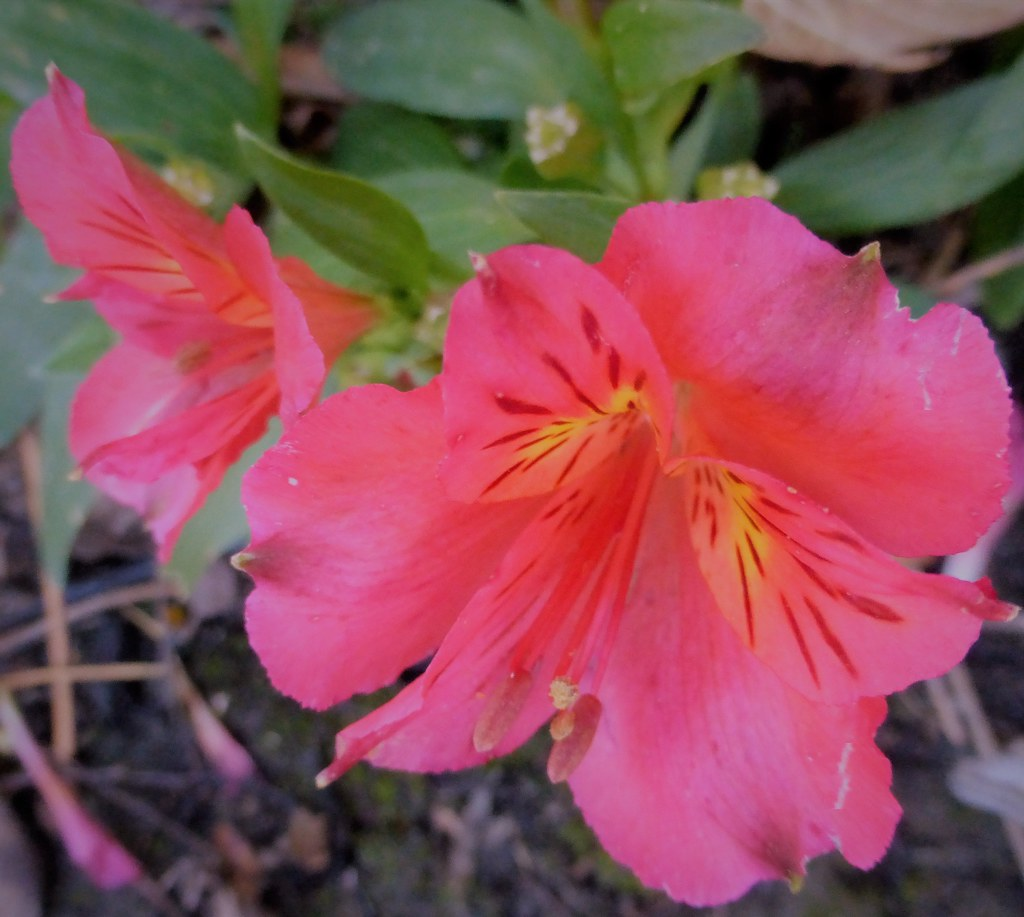 The Worlds Best Photos Of Alstroemeria And Princesslily Flickr
