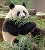 giant panda Ouwehands BB2A1033 (j.a.kok) Tags: panda grotepanda giantpanda bamboebeer bamboobear beer bear china asia azie animal ouwehands mammal zoogdier dier