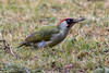 Pic vert. (mâle) (Ferdinand23) Tags: oiseaux picvert pics
