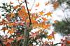 IMG_0689 (Chris@Tamsui) Tags: 楓 maple 紅葉 koyo