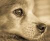 Senior Canine (risaclics) Tags: make me smile 50mm18macro 7dw animals dogs january2018 nikond610 risa monochrome makemesmile