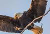 Bald eagle landing at Sacramento National Wildlife Refuge (Marc Crumpler (Ilikethenight)) Tags: wildlife usa california sacramentonationalwildliferefuge glenncounty baldeagle landing talons branch marccrumpler canon canon7dmarkii 7dmarkii tamron150600mmf563