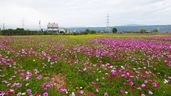 后里農村風景 Houli District rural landscape (葉 正道 Ben(busy)) Tags: taiwan 台灣 后里區 taichung 台中 houlidistrict 花 paddy 稻田 波斯菊 cosmos rapeflowers 油菜花
