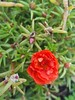 Portulaca grandiflora (Iggy Y) Tags: portulacagrandiflora portulaca grandiflora summer blossom color flower flowers red leaves nature green garden plant prkos mossrose rockrose day light