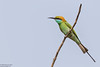 Little Green Bee-eater, Merops orientalis (Kevin B Agar) Tags: birds goa india littlegreenbeeeater meropsorientalis