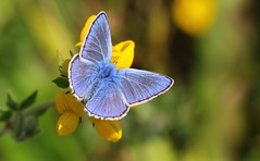 Common Blue 130717 (3) (Richard Collier - Wildlife and Travel Photography) Tags: wildlife naturalhistory butterflies insects commonblue british ngc npc naturethroughthelens