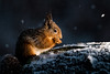 Red Squirrel (Daryn Mockett) Tags: cute gorgeous stunning