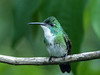 White-chested Emerald / Amazilia brevirostris, Trinidad (annkelliott) Tags: trinidad island caribbean westindies asawrightnaturecentre nature wildlife ornithology avian bird birds hummingbird whitechestedemerald sexessimilar frontsideview perched branch tropical rainforest bokeh outdoor 16march2017 fz200 fz2004 panasonic lumix annkelliott anneelliott ©anneelliott2017 ©allrightsreserved