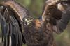 Golden Eagle (Jon David Nelson) Tags: goldeneagle aquilachrysaetos eagles wildlife raptors birdsofprey highdesert education conservation