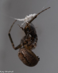 Spider parlour (Katy Wrathall) Tags: 2018 eastriding eastyorkshire england march spring arachnid spider