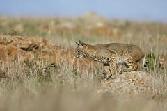 Bobcat (toryjk) Tags: lynxrufus lynxrufuscalifornicus lynxrufusbobcat baylynx bayarea bobcat wildcat wild bay area wildlife cat