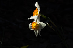Clairobscure (Irina1010) Tags: daffodils flowers shade ray light claireobscure beautiful nature canon ngc coth5 npc