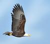 Bringing Home The...er...Bacon. (Vidterry) Tags: eagle baldeagle eagleflyingwithfish