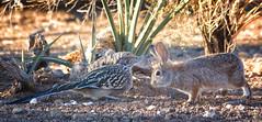Road Runner and the Rabbit (cindyslater) Tags: rabbit arizona goldenvalleyaz cindyslater roadrunner animal
