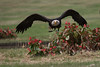 Weißkopf-Seeadler (pashieno) Tags: haliaeetusleucocephalus walsrode weiskopfseeadler 03seeadler 11greifvögel deutschland vögel zoo