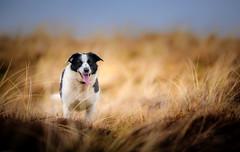An Elk (JJFET) Tags: border collie dog sheepdog