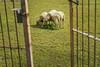 3528-2017-BR (elfer) Tags: vidacotidiana animales mamãfero oveja comiendo puertas
