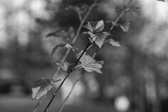 another greyscale image (EllaH52) Tags: greyscale monochrome plant grey autumn