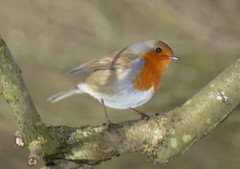 Robin (lesleydugmore) Tags: robin tree branch orange brown white upperhowden peakdistrict europe uk england britain