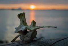 Sunset Bone - Snead Island (Cracked_Lens) Tags: macro bone bones sunset sun hikingtrail hikingphotography hiking floridahiking floridatrail florida floridanature macroshot macrodreams macronature
