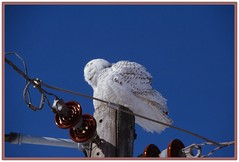 /\/\/\ Snoozing Snowy Owl - I. /\/\/\ (Wolverine09J ~ 1.5 Million Views) Tags: snowyowl immature male raptor birdofprey avianwildlife migrant perching nature latewinter sunny bluesky napping naturespotofgold utilitypole wildlifeshots feathersbeaks frameit~level01 rainbowofnaturelevel1red thelooklevel1red blinkagain coolshot