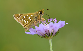 Silver-spotted Skipper (Hesperia comma).