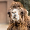 Winter at the Zoo (Fred Ortlip) Tags: camels bactriancamel stlouis stlouiszoo zoos