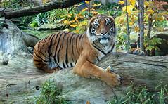 Tiger (Schwanzus_Longus) Tags: halle saale zoo german germany asia tropical tropic forest predator mammal cat feline tiger