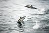 High Jump (helenehoffman) Tags: bajasur gulfofcalifornia seaofcortez bajacalifornia mammal water commondolphin dolphin mexico baja animal cetacean marinemammal sea