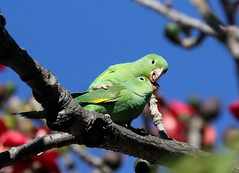 A Hug and a Kiss (C-O) Tags: jan 24corr029 arboretum bird birds yellowchevroned parakeet kissing hugging canoodling bombax tree nature