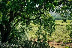(Jonan G.E) Tags: jonanesguerra canon40d canon napavalley napacounty california usa winecountry wine grapes vineyard nature andscape green beauty serene relaxing plumpjackwinery winery
