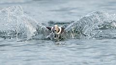 Splash Landing (CR Courson) Tags: anatidae clangulahyemalis ducksswansandgeese longtailedduck splash duck ducks birds birdphotography nikon naturephotography nature crcourson chuckcourson