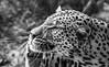Namibia Naankuse Wildlife Sanctuary (Sas & Rikske) Tags: canon eos1d x canoneos1dx canon100400 eric bruyninckx riksketervuren namibië namibia namib animal animals safari africa afrika landscape green blauwevogelreizen 2017 thena'ankusêfoundation na'an ku sê foundation angelina jolie angelinajolie joliepittfoundation joliepitt brad pitt bradpitt naankusefoundation naankuse na'ankusê leopards leopard naankuseleopard cat bigcat predator flesh yellow flowers leopardcloseup
