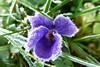 Eis-Veilchen (dorisgoebel) Tags: veilchen violet blüte blossom blume flower winter frost