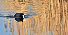 Full steam ahead! (pstone646) Tags: coot nature bird water reflection animal lake fauna waterbird threatening kent stodmarsh wildlife wildfowl
