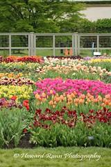 Longwood Gardens Spring 2017 (66) (Framemaker 2014) Tags: longwood gardens kennett square pennsylvania tulips united states america