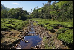 Shola Forest Stream Through Tea Estate (Indianature st2i) Tags: sholaforeststream foreststream valparai anamalais anamallais anamalaitigerreserve westernghats tea shola rainforest nature indianature 2018 january february tamilnadu india life wildlife plantation forest people estate