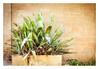Agave (Daniela 59) Tags: 7dwf fridaythemeflora plant nature agave weeds grass wall danielaruppel