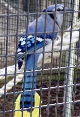 20171121 (48) Blue Jay Busch Wildlife Sanctuary Jupiter PBC FL USA (FRABJOUS DAZE - PHOTO BLOG) Tags: buschwildlifesanctuary busch wildlife sanctuary jupiter pbc palmbeachcounty florida fl fla usa yhdysvallat luontokuva luontokuvaus naturephoto naturephotography bluejay lintu bird