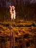 Bullrush (Draycott Photography) Tags: donisthorpe draycottphotography em10 omd olympus staffordshire bullrush nature sunny wildlife wintermorning england unitedkingdom gb