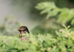 I See You (Blackbird (f) - Turdus merula) (Andy Pandy Pooh) Tags: turdusmerula blackbird