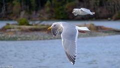 Gulls Esquimalt Lagoon (david byng) Tags: esquimaltlagoon birds canada winter britishcolumbia vancouverisland pacificocean