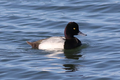 Lesser Scaup (IMG_6958) (jasontanner) Tags: arrowheadmarsh bird duck lesserscaup scaup