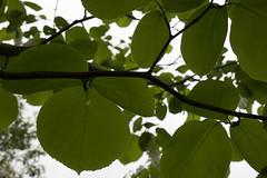 jdy116XX20170426a9061Bias0 stops.jpg (rachelgreenbelt) Tags: ghigreenbelthomesinc usa styraxobassia greenbelt northamerica midatlanticregion ouryard eudicots orderericales styrax familystyracaceae maryland americas asteridsclade magnoliophyta styracaceae styracaceaefamily asterids benzoin ericales ericalesorder floweringplants fromjapan snowbell spermatophytes storax