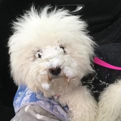 Naïs, dernier jour de vacances à la neige ! (Annelise LE BIAN) Tags: naïs chien bichonfrisé neige alittlebeauty coth coth5
