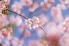 IMGL0589 (GARNETSKY2006) Tags: 180304sakura 5d3 sakura cherryblossom 50mmf12